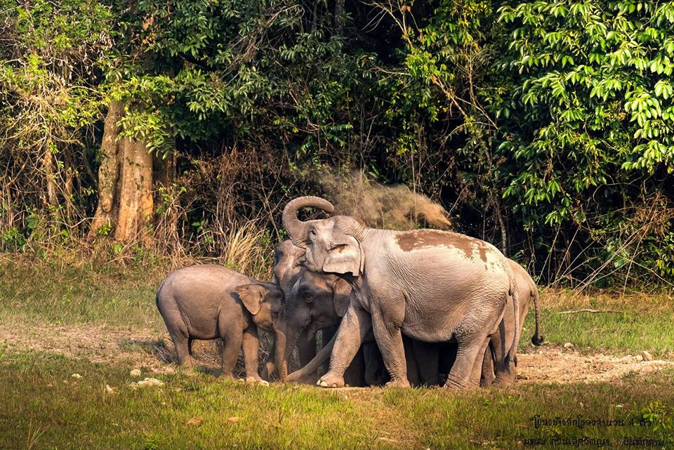 โขลงช้าง ที่เขาใหญ่